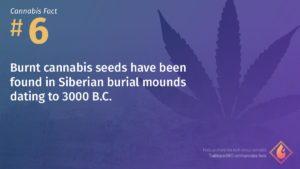 Cannabis Fact 6