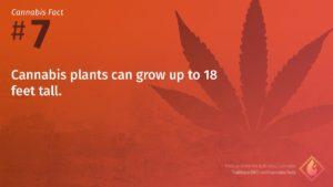Cannabis Fact 7