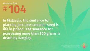 Cannabis Fact 104