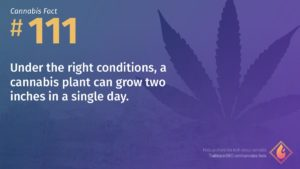 Cannabis Fact 111